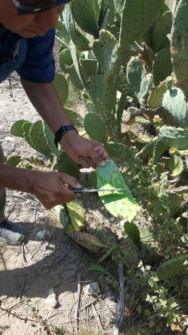Mr. Villasenor seen in the picture, cutting the cactus pad for us to eat at Eaton Canyon Nature Center in Pasadena, CA
